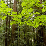Henry Cowell Redwoods SP Image