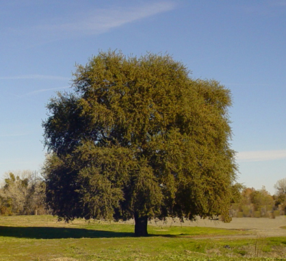 Signature oak tree on the CIHC site