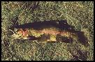 Rainbow Trout (Onchnrychus mykiss)