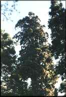 Photo:  view looking up at the tops  of a group of sierra redwood trees  at Calaveras Big Trees State Park.