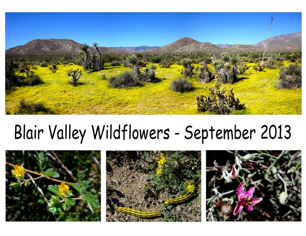Blair Valley Wildflowers