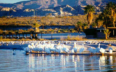Salton Sea Birds - Winter Migration